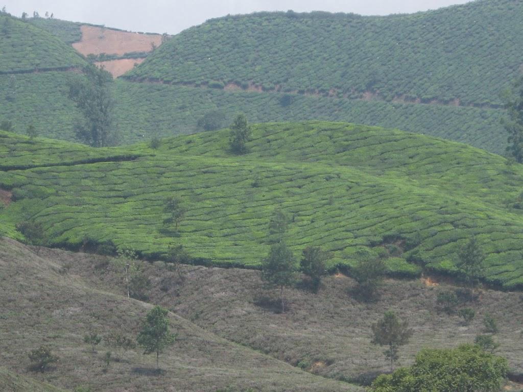 Munnar Teefelder