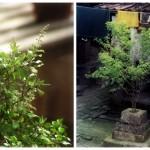 Tulsi – das heilige indische Basilikum & seine wunderbaren Wirkungen